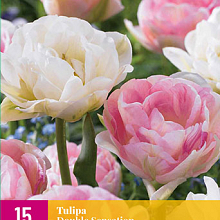X 15 TULIPA DOUBLE SENSATION 11/12