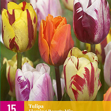 X 15 TULIPA FLAMING BEAUTY MIX 11/12