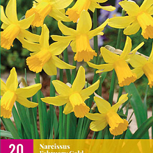 X 20 NARCISSUS FEBRUARY GOLD 10/12