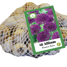 X   40 ALLIUM PURPLE RAIN 10/12