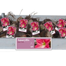 X 25 AMARYLLIS ROZE INCL. LABEL 34/36