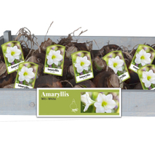 X 25 AMARYLLIS WIT INCL. LABEL 34/36