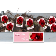 X 25 AMARYLLIS DUBBEL ROOD INCL. LABEL 34/36