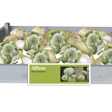 X 40 ALLIUM MOUNT EVEREST INCL. LABEL 24/+