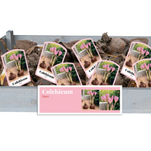 X 50 COLCHICUM GIANT INCL. LABEL 24/+