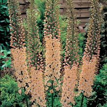 X 1 EREMURUS ROBUSTUS INCL. LABEL TOP