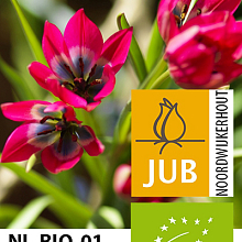 TULIPA LITTLE BEAUTY BIOLOGISCH