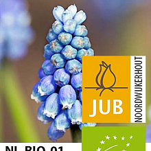 MUSCARI LADY IN BLUE BIOLOGISCH