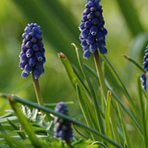 MUSCARI ARMENIACUM NIGHT EYES