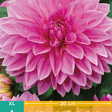 X 1 DAHLIA LAVENDER PERFECTION I