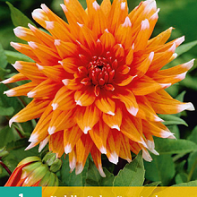 X 1 DAHLIA COLOR SPECTACLE I