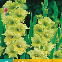 X   7 GLADIOLUS EVERGREEN 12/14