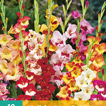 X 10 GLADIOLUS BUTTERFLY MIX 10/12