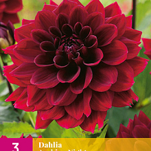 X 3 DAHLIA ARABIAN NIGHT I