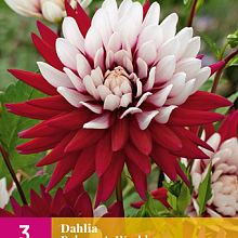 X 3 DAHLIA REBECCAS WORLD I