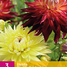 X 3 DAHLIA DOUBLE BRIGHT MIX I