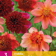 X 3 DAHLIA HAPPY DAYLIGHT I