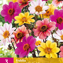 X 3 DAHLIA HAPPY SINGLE MIX I