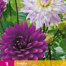 X 3 DAHLIA PINK PURPLE TOUCH I