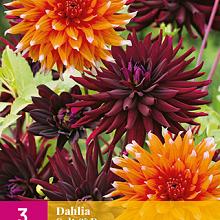 X 3 DAHLIA SALT & PEPPER  I