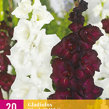 X 20 GLADIOLUS BLACK & WHITE 12/14