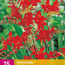 X 25 CROCOSMIA LUCIFER 8/10