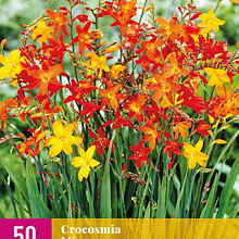 X 50 CROCOSMIA MIX 6/7