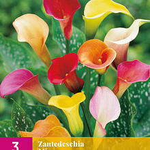 X 3 ZANTEDESCHIA MIX 14/16