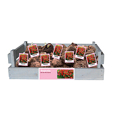 X 40 BEGONIA BERTINII WORTHIANA INCL. LABEL 24/28