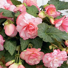 X 50 BEGONIA CASCADE FLORENCE 4/5
