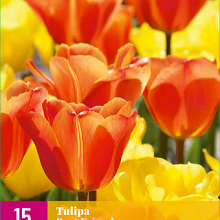 X 15 TULIPA BEST FRIENDS 11/12