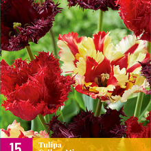 X 15 TULIPA GALLERY MIX 11/12