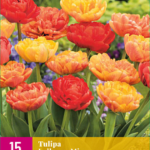 X 15 TULIPA LOLLYPOP MIX 11/12
