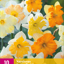X 10 NARCISSUS BUTTERFLY MIX  12/14