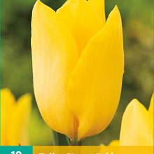 X 10 TULIPA STRONG GOLD 11/12