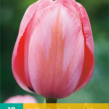 X 10 TULIPA DESIGN IMPRESSION 11/12
