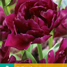 X   7 TULIPA SHOWCASE 11/12
