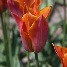 TULIPA REQUEST