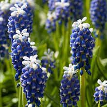 MUSCARI ARMENIACUM TOUCH OF SNOW