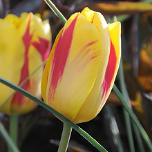 TULIPA WASHINGTON