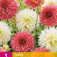 X 3 DAHLIA CUPIDO FRIENDS I