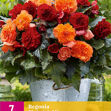 X 7 BEGONIA PICKNICK MIX 5/6