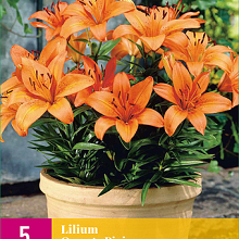 X 5 LILIUM ORANGE PIXIE 14/16