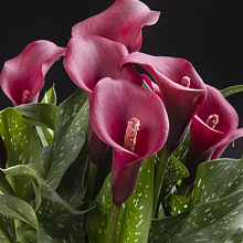 X 25 ZANTEDESCHIA ROYAL VALENTINE 14/16