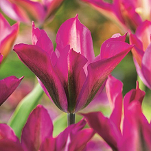 TULIPA PURPLE DANCE