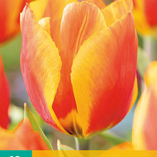 X 10 TULIPA FLAIR 11/12