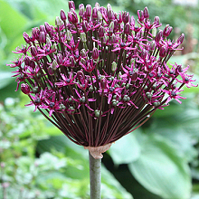 ALLIUM MAGIC