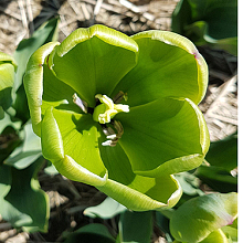 TULIPA GREEN POWER