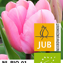TULIPA BIG LOVE BIOLOGISCH