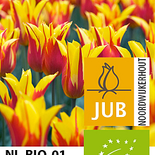 TULIPA FIRE WINGS BIOLOGISCH